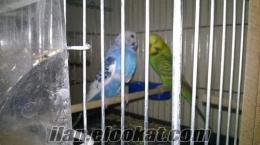 Komple Satılık Muhabbet Kuşu ve Sultan Papağanı Üretimhanesi