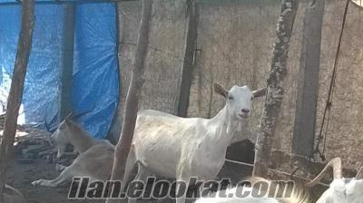 satılık saanen keçi