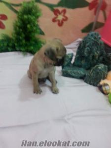 pug satılık yavruları