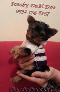 satılık teacup yorkshire terrier