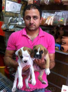 boxer yavrularımız beyaz ve kahve