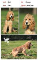 satılık eğitimli köpekler COCKER