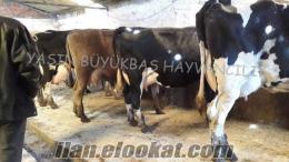 yaşın büyük baş hayvan çiftliğinden satılık gebe inekler danalar düveler