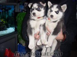 satılık sibirya huski yavruları ciftlikten