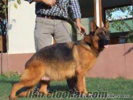 anne altından Alman Çoban Köpeği yavrularımız