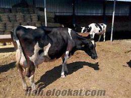 sahibinden satılık a kalite süt inekleri hüseyin et