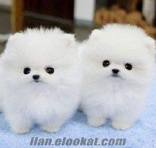 satılık Sevimli Beyaz Pomeranian yavru