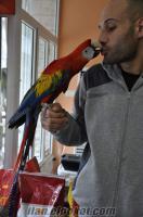 scarlet ara macaw bebeklerrr