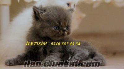 izmir himalayan ve iran persian kedilerimiz.
