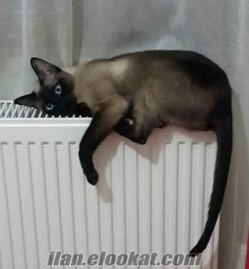 Dişi siyam kedimizi çiftleştirmek için erkek siyam kedisi arıyoruz !