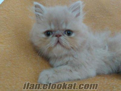 acil satılık safkan erkek iran kedisi (ankara)