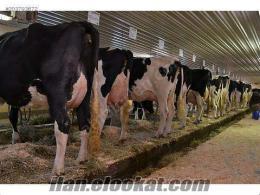 Yüce Tarım Ve Hayvancılık Holstein Buzalı İnekler Ve Gebe Düveler Satılık