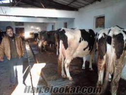 holtein buzalı inekler ve gebe düveler satılıktır