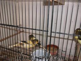 satılık kanarya kuşları yavrukanarya