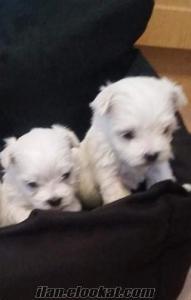 sahibinden son 2 sıfır numara Maltese terrier