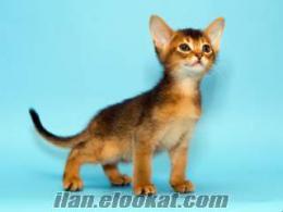 Yavru Abyssinian (habeş) kedisi arıyoruz