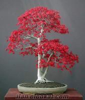 Bonsai yetiştirmek için tohum listesi ( bonsai bonsayi tohum tohumu )