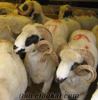 bağlıcada adaklık kuzu kesim ücretsiz şok fiyatlara !!!