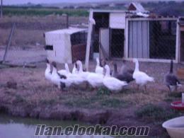 izmir menderesten satılık tavuk çeşitleri köy tavuğu iran tavuğu ve kaz bulunur