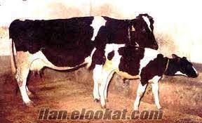 hoştayim cinsli süt inek satılık