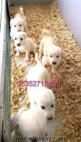 satılık akbaş köpek yavruları