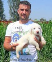 satılık akbaş köpek