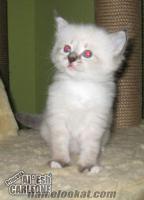 Safkan Sibirya kedisi yavrularımız