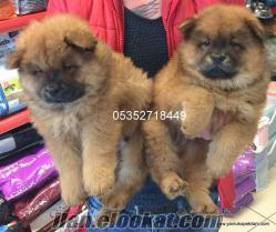 satılık Chow Chow (çin Aslanı) yavruları