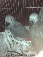 satılık kırmızı kuyruk jako papağan izmir