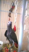 satılık kırmızı kuyruk bebek jako papağan izmir