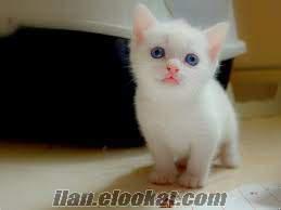 orjinal ANKARA kedisi yavruları salık ve ırk garantili