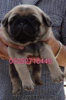 satılık pug mops yavruları