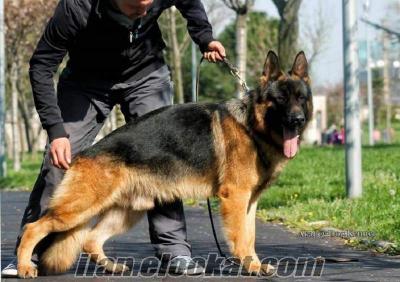 satılık alman urt köpeği yavruları