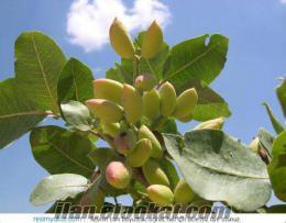 gaziantep nizip sekili orul kasabasında satılık zeytinlik ve fıstıklık