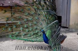 3 yaşında bir çift mavi tavus kuşu