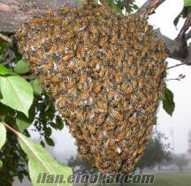 Tekirdağ Sarayda satılık arı