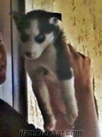 İzmir menemende acil husky yavrusu 4 aylık