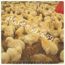 Civciv ördek hindi satışı.
