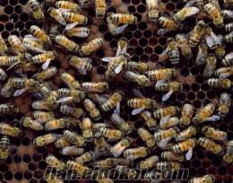 Kayseride çok acil satlık arı