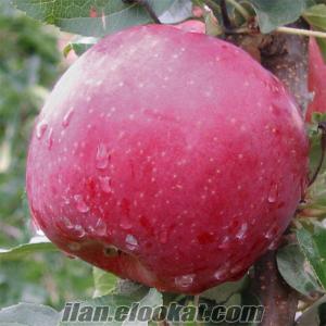 Sertifikalı aşılı Elma çeşitleri
