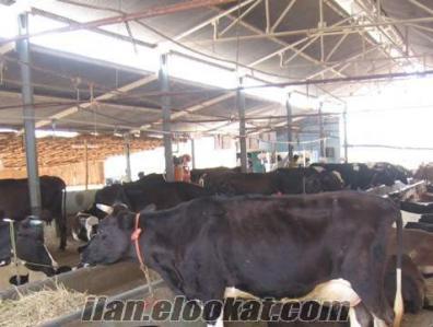 Besi Çifliğinden Satılık Holstein Buzalı Süt İnekleri Ve Gebe Düveler Satılıktır