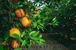 satılık portakal bahçesi