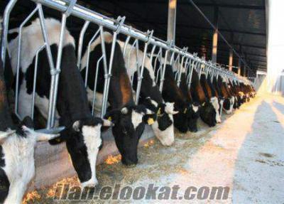 besi çifliğinden satılık acil süt inekleri