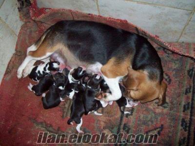 satılık beagle yavrularımız