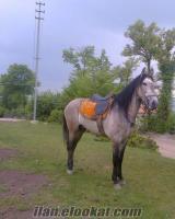 samsunda sahibindn satılık erkek rahvan yarış atı