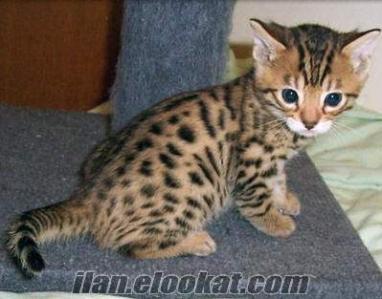Satılık bengal kedisi