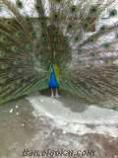 Antalyada tavuş kuşu