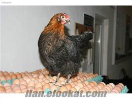 satlık atak-s tavukları