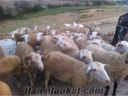 45 Adet Merinos ve Kıvırcık Koyun ile 6 Adet Saanen Keçi Satılık