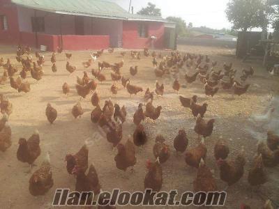sahinden satılık lohman brovn tavuk